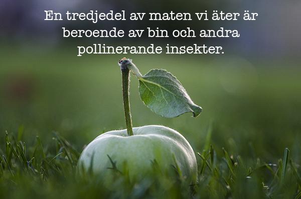 äpple_pollinering